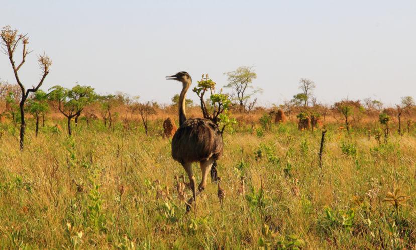 A ema é uma das espécies típicas do Cerrado brasileiro.
