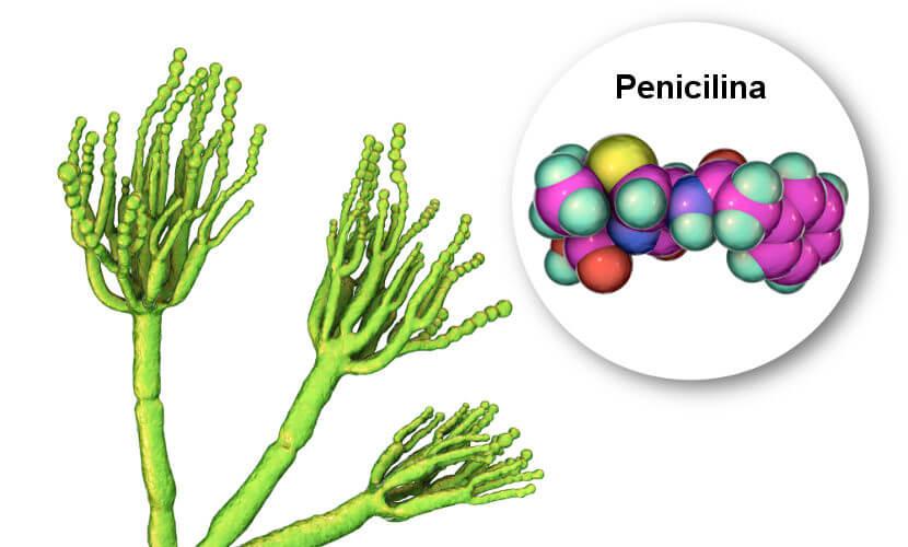 A penicilina é produzida por um fungo.