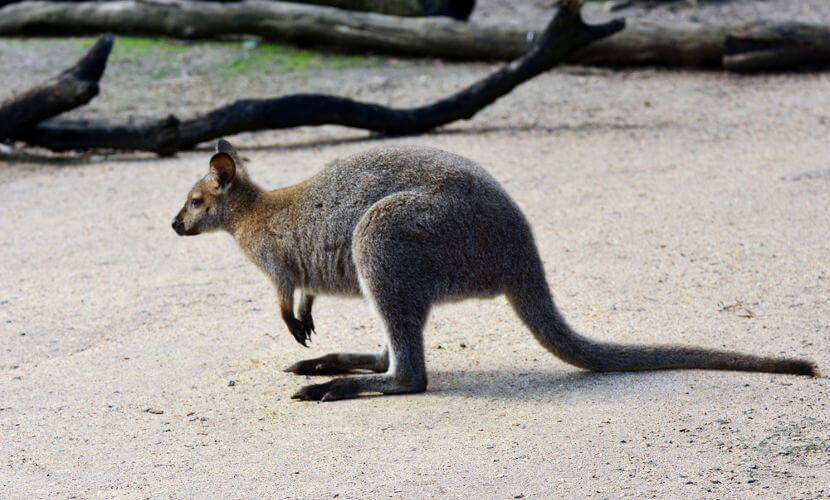 O canguru antilopine é, frequentemente, encontrado em grandes grupos.