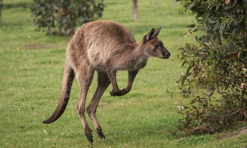 Essa espécie é encontrada, principalmente, no Sul da Austrália.