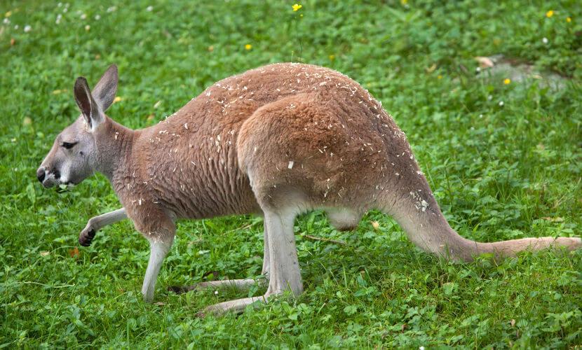 O canguru-vermelho é a maior espécie de marsupial do mundo.