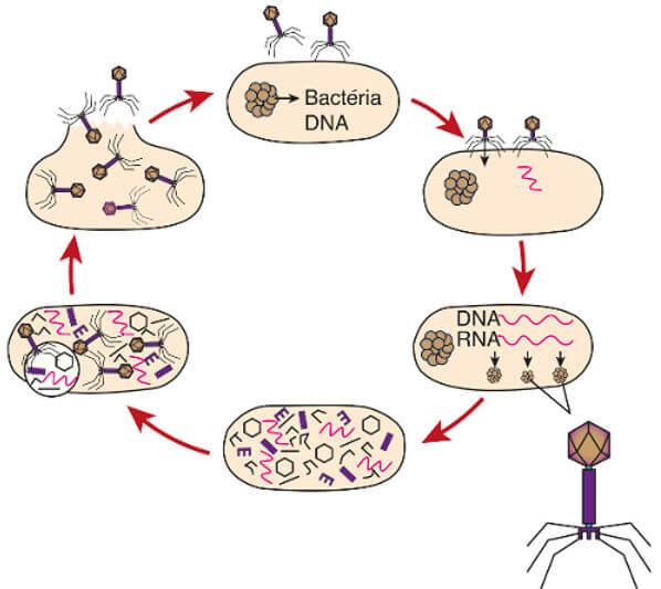 Observe acima o ciclo reprodutivo de um vírus bacteriófago.