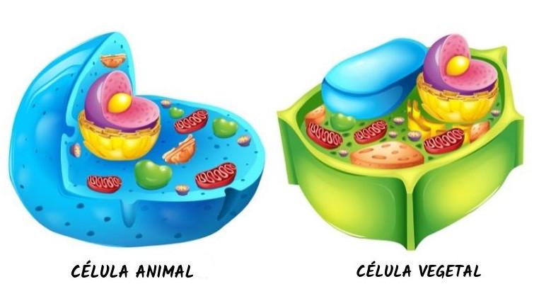 Uma característica dos animais é a ausência de parede celular em suas células, sendo essa presente em células vegetais.