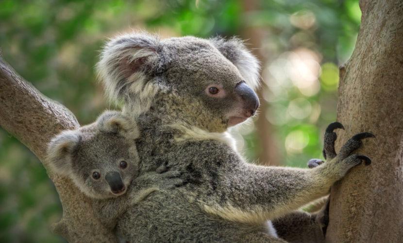 Os filhotes de coala vivem junto à mãe até um ano de idade, geralmente, sobre suas costas e barriga.