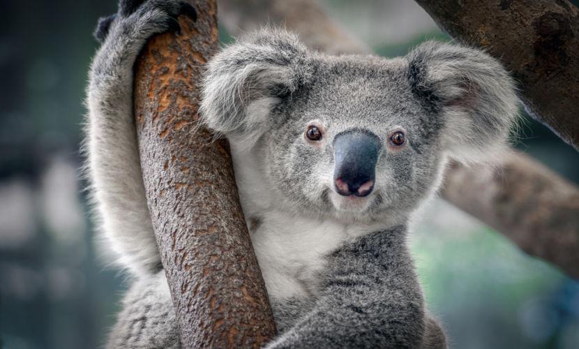 O coala é um mamífero pertencente à mesma ordem dos wallabies e cangurus.