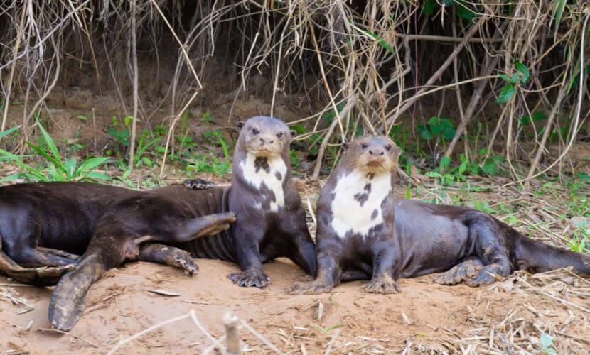 A lontra-gigante ou ariranha, geralmente, vive em grupos familiares com até 15 indivíduos.