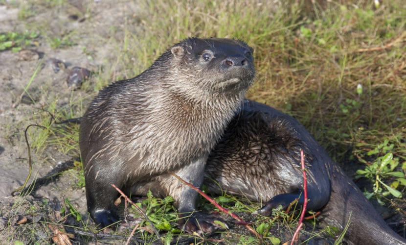 Embora semelhantes, a ariranha e a lontra-neotropical apresentam diferenças, tanto físicas quanto comportamentais.