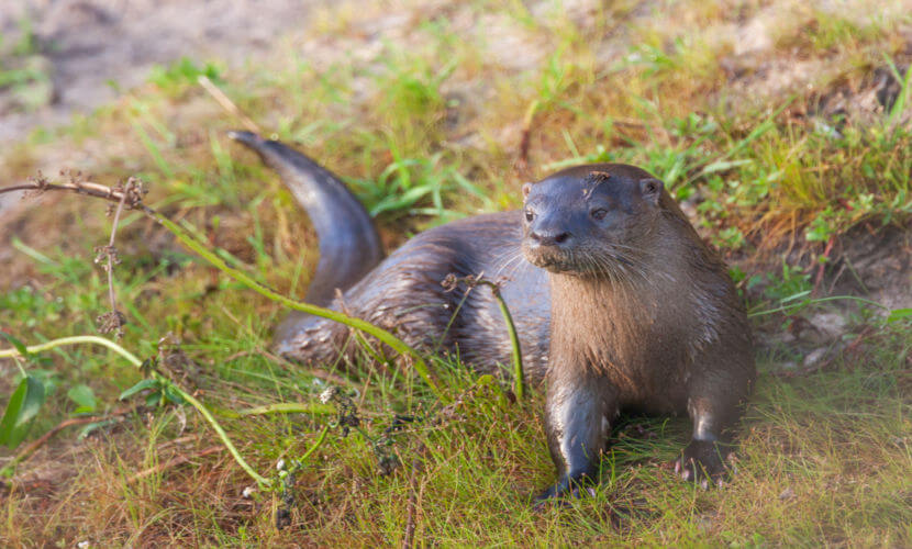 A lontra ou lontra-neotropical habita os mais diversos ambientes, desde os de água doce aos marinhos.