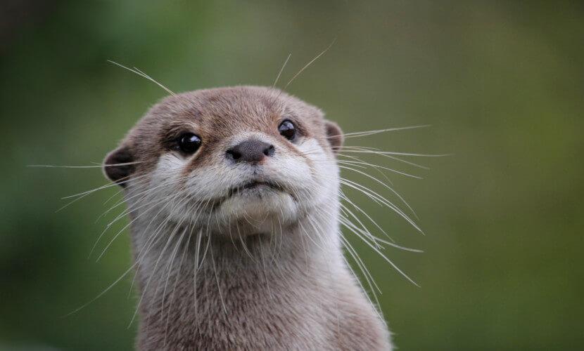 A lontra é um animal vertebrado, mamífero, carnívoro e apresenta uma ampla distribuição pelo planeta.
