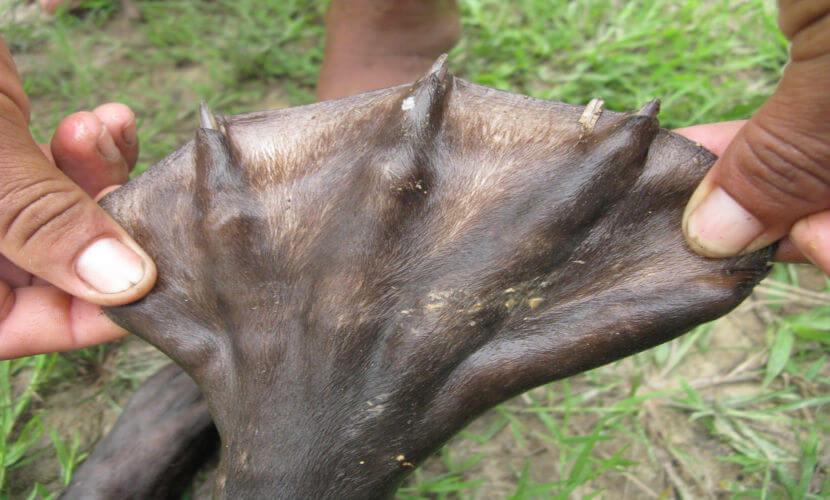 A ariranha apresenta membranas interdigitais entre os seus dedos que a auxiliam durante a natação.