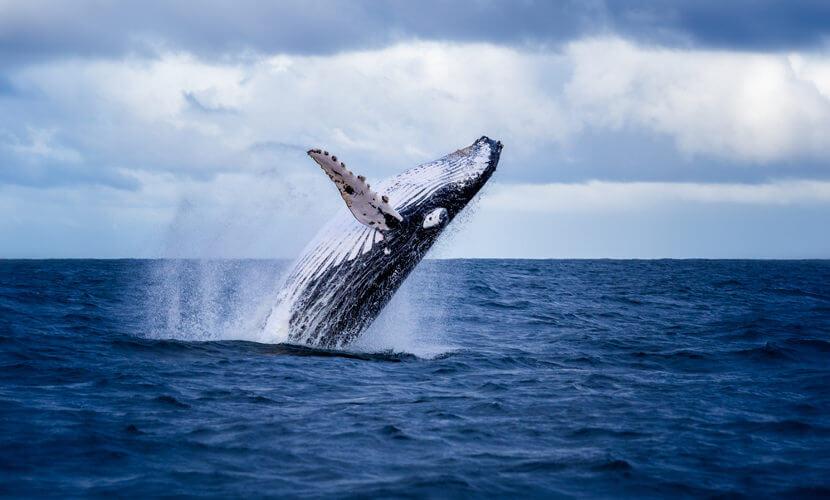 Apesar de serem animais aquáticos, as baleias, assim como outros mamíferos, respiram por pulmões.