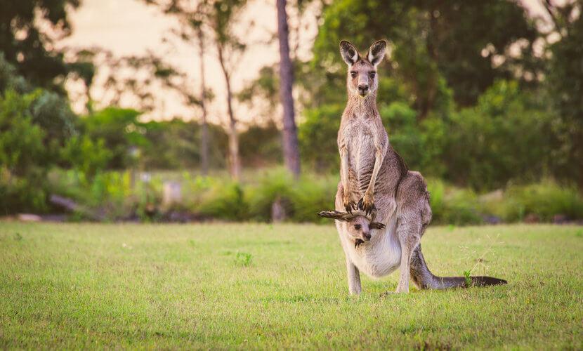 O canguru é um marsupial.