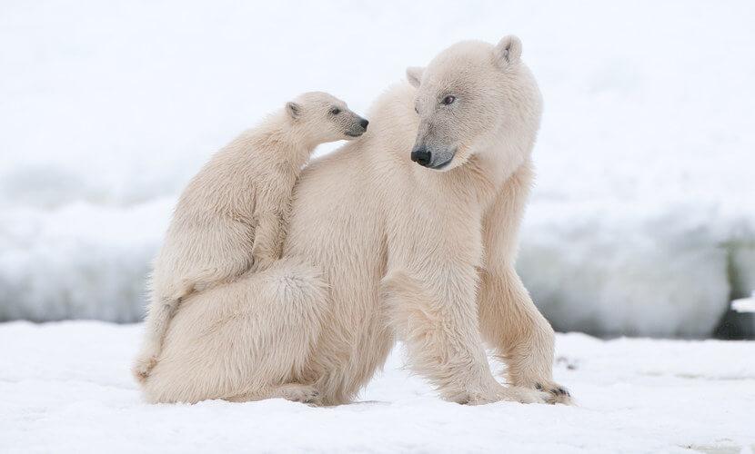 Urso-polar é um exemplo de mamífero.