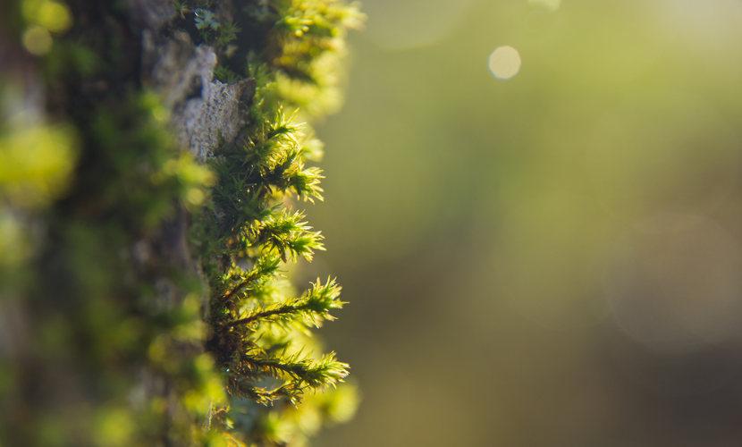 As briófitas são plantas avasculares e, devido a essa característica, possuem pequeno porte.