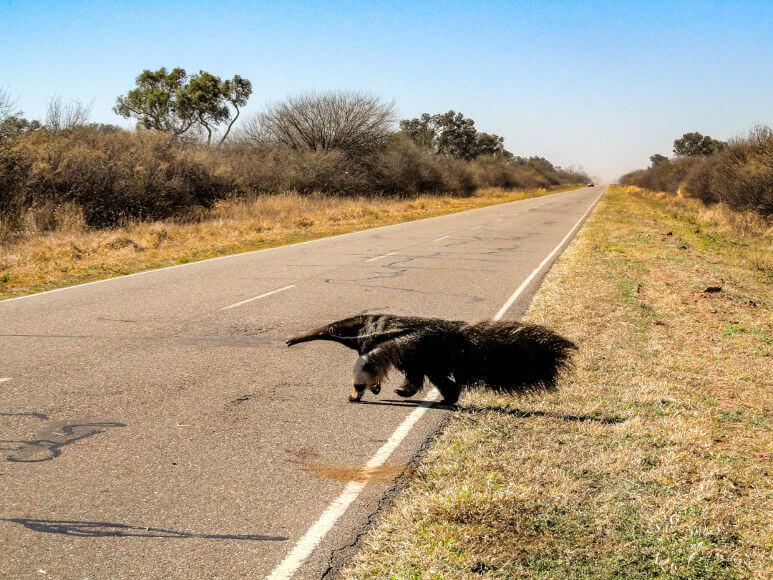 O tamanduá-bandeira é constantemente vítima de atropelamentos.