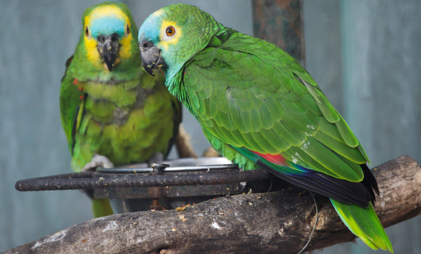 O papagaio-verdadeiro é um exemplo de animal silvestre.