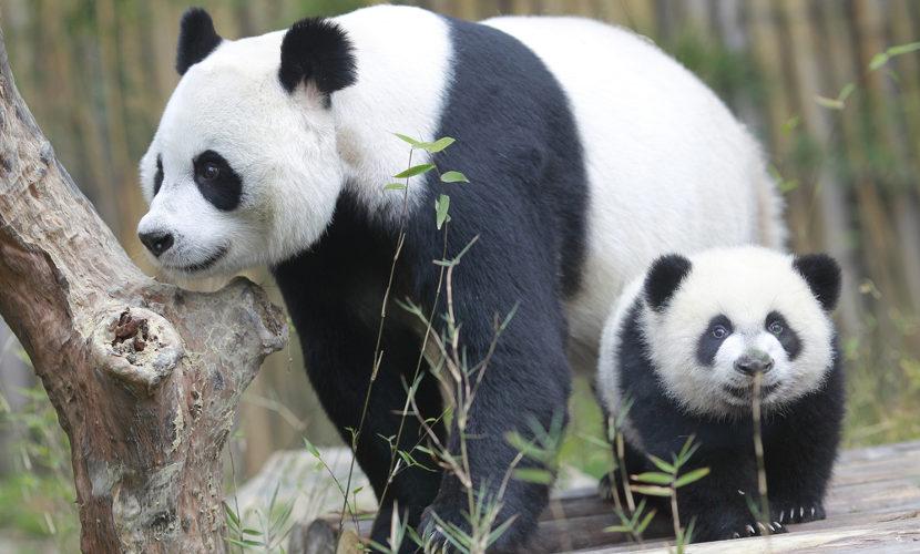 Os filhotes permanecem com suas mães até, aproximadamente, 18 meses de vida.