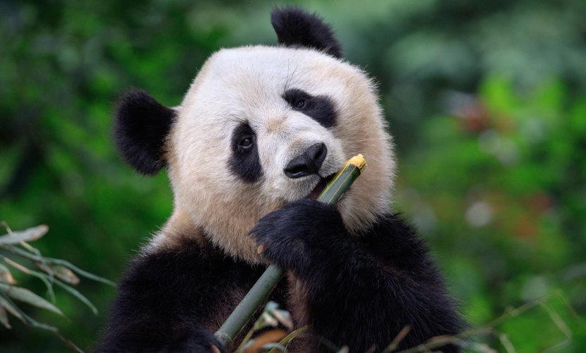 Pandas alimentam-se diariamente de uma grande quantidade de bambu, sendo esse seu principal alimento.