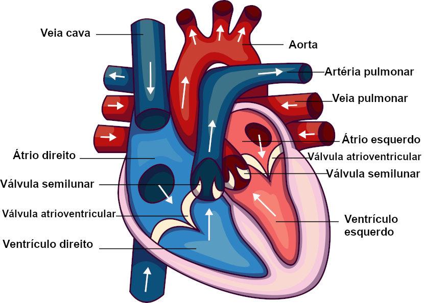 Coração: humano, dos vertebrados, caminho do sangue ...