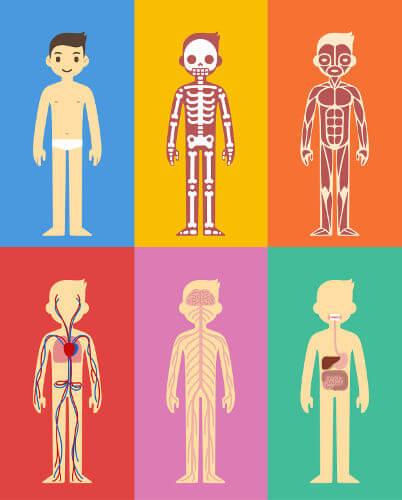 Os sistemas do corpo humano são formados por conjuntos de órgãos.