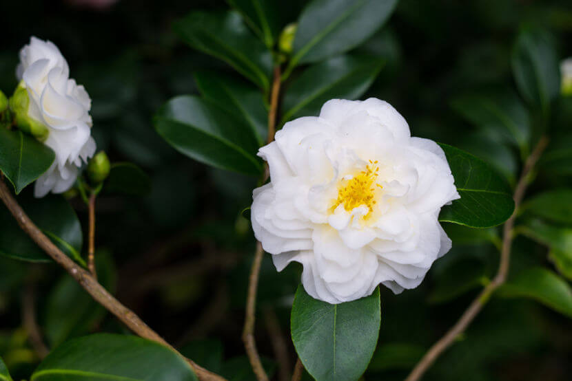 No final da década de 1880, a camélia branca tornou-se um símbolo dos abolicionistas no Brasil.