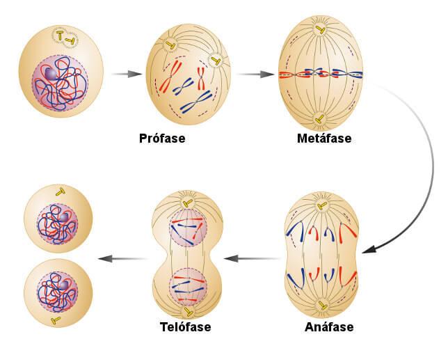 Observe atentamente um esquema que representa as fases da mitose.