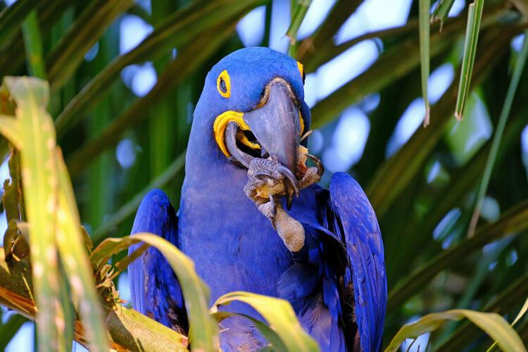 As araras-azuis alimentam-se de sementes.
