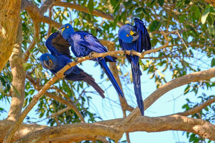 As araras-azuis são geralmente encontradas em bandos.