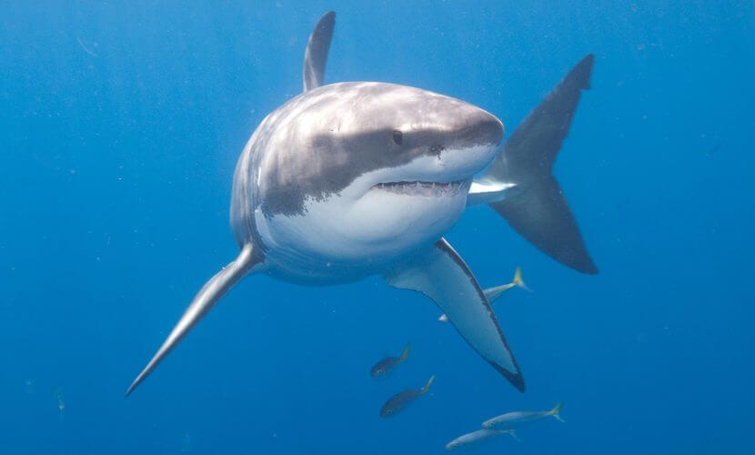 Tubarão Características Reprodução Tubarão Branco