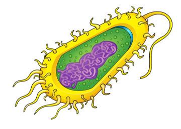 A célula das bactérias não apresenta núcleo definido