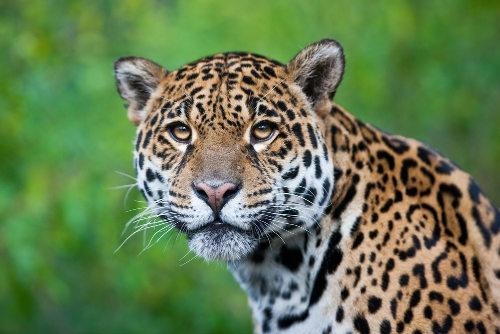 A onça-pintada é um dos símbolos da fauna brasileira