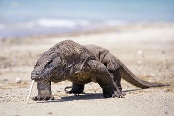 O habitat do Dragão-de-Komodo são as ilhas Rinca, Flores e Komodo