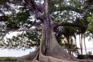 Sumaúma: árvore típica da Amazônia.