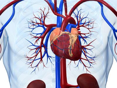O sistema cardiovascular é formado por vasos sanguíneos e o coração