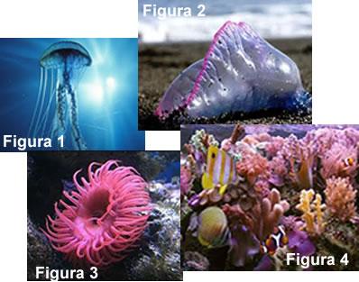 Figura 1: água-viva; Figura 2: caravela-portuguesa; Figura 3: anêmona-do-mar; Figura 4: corais