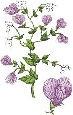 A ervilha foi a planta escolhida por Mendel para seus estudos