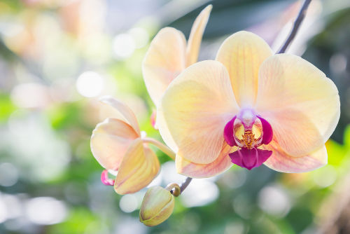 A orquídea é um exemplo de monocotiledônea.