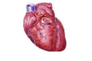 Coração: componente muito importante para a circulação do sangue.  O coração é um órgão rico em músculos.
