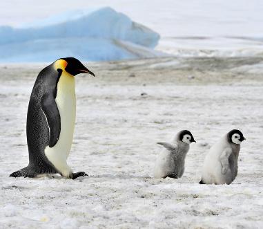 Pouquíssimas espécies de animais habitam o continente gelado da Antártida. Entre elas, estão os pinguins-imperadores