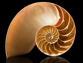 Visão interna de uma concha: a proporção entre dois compartimentos é igual ao número áureo