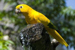 Ararajuba: ave brasileira.
