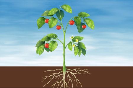 As plantas vasculares possuem tecidos condutores