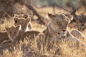 Mãe leoa e seus descendentes; filhotes de leão e sua ascendente.