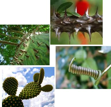 As adaptações caulinares podem ser classificadas em espinhos, gavinhas e cladódios