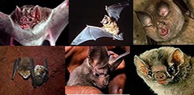 Os morcegos são mamíferos voadores
