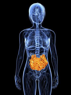 O intestino delgado é um órgão importante do sistema digestório