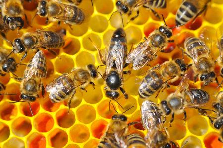 As abelhas estabelecem uma relação ecológica conhecida como sociedade