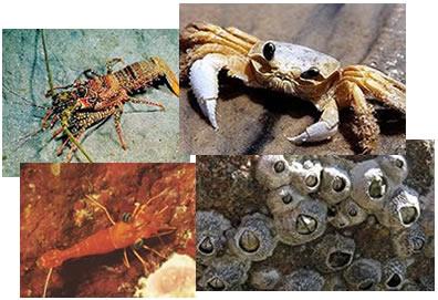 Os crustáceos são animais extremamente importantes para a cadeia alimentar aquática