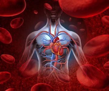O sistema cardiovascular inclui órgãos que funcionam juntos para atingir o mesmo propósito: levar nutrientes e oxigênio para as células