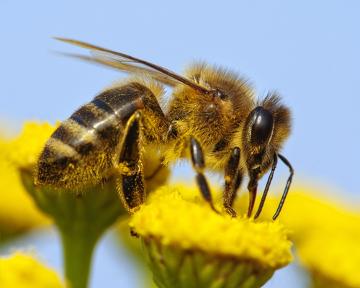 As abelhas normalmente polinizam flores amarelas e azuis